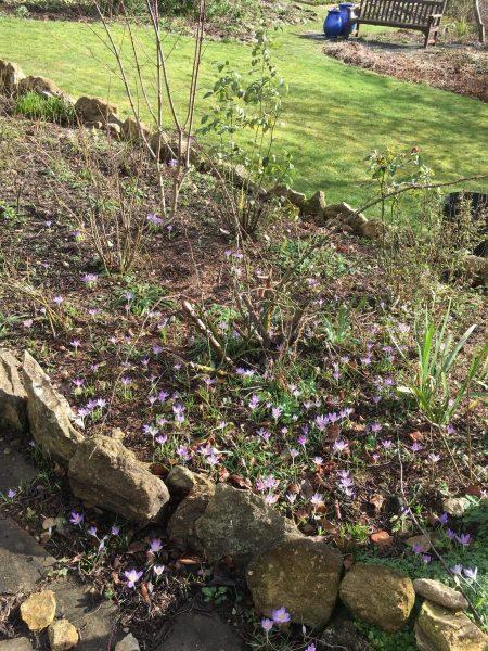 Crocuses in the garden